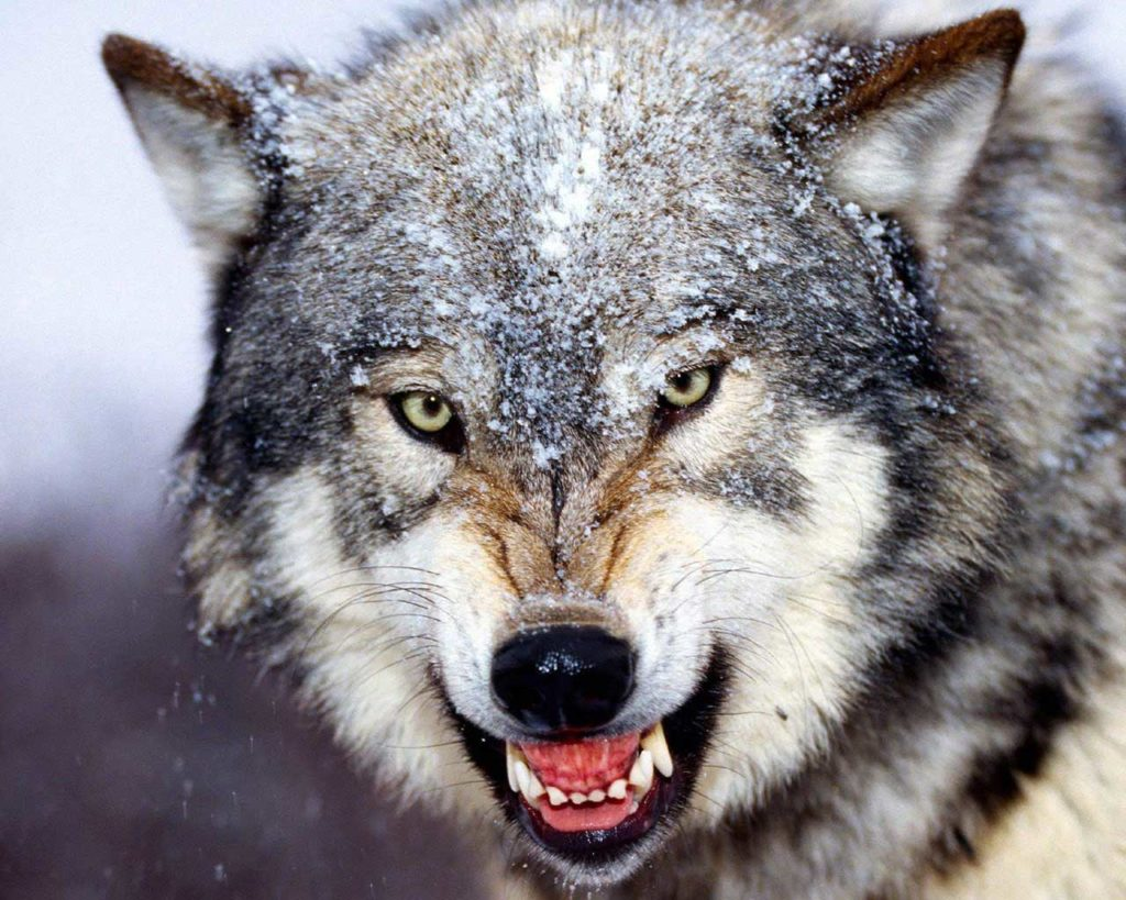 Wolf staring into camera with snowy winter background